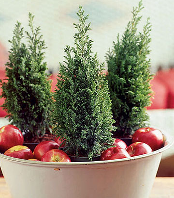 Small fir trees add a Cristmas theme to your winter wedding